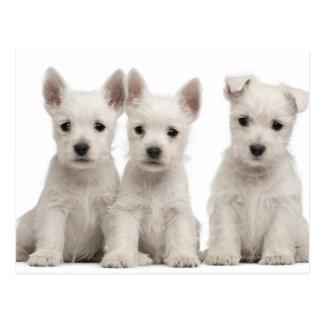 Cartão Postal Filhotes de cachorro ocidentais de Terrier das
