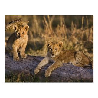 Cartão Postal Filhotes de leão no registro, Panthera leo, Masai