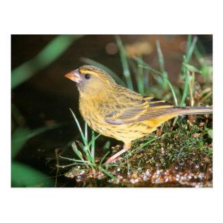 Cartão Postal Fim-Acima de um canário da floresta (Serinus