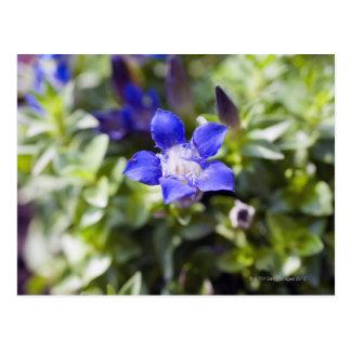 Cartão Postal Fim-acima de uma genciana azul flowerhead.