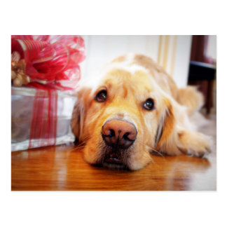 Cartão Postal Fim-acima do cão wistful do golden retriever