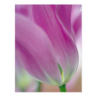 Cartão Postal Fim-acima do lado de baixo da flor da tulipa, 2