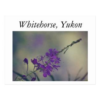 Cartão Postal Fireweed, lago Fox, Whitehorse, Yukon