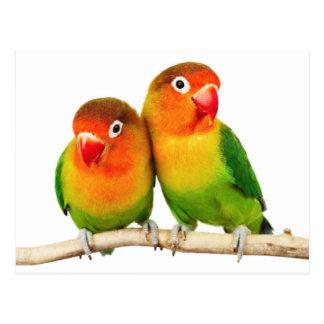 Cartão Postal Fischer's lovebird (Agapornis fischeri)