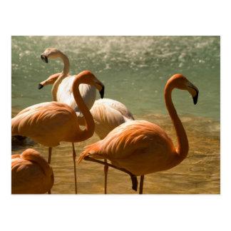 Cartão Postal Flamingo