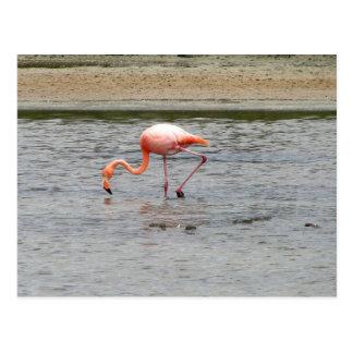Cartão Postal Flamingo, Isla Seymour, Galápagos