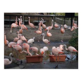 Cartão Postal Flamingos