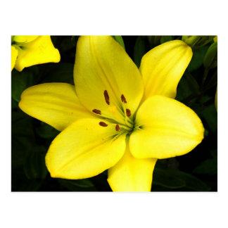Cartão Postal Flor amarela da flor do lírio