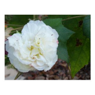 Cartão Postal flor branca dos mutabilis do hibiscus