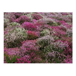 Cartão Postal Flor cor-de-rosa, branca e roxa dos arbustos