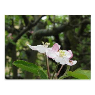Cartão Postal Flor cor-de-rosa da maçã no primavera. Toscânia,