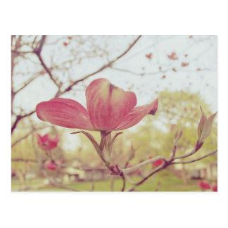 Cartão Postal Flor cor-de-rosa do Dogwood