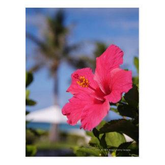 Cartão Postal Flor cor-de-rosa do hibiscus