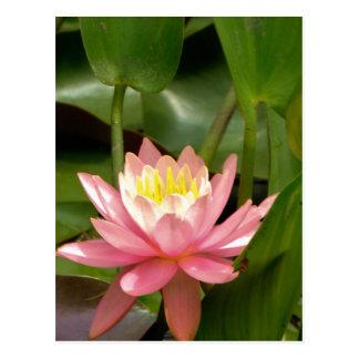 Cartão Postal Flor cor-de-rosa do lírio de água dos lótus
