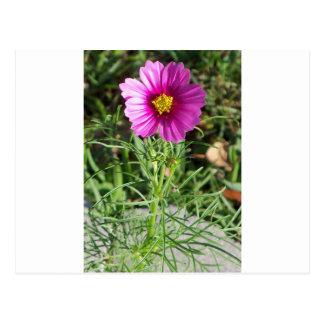 Cartão Postal Flor cor-de-rosa escura da margarida do cosmos