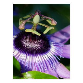 Cartão Postal Flor da paixão