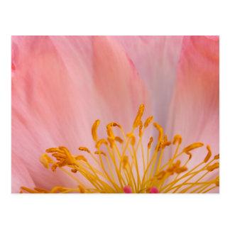 Cartão Postal Flor da peônia