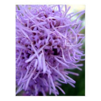 Cartão Postal Flor da violeta da aranha do tentáculo