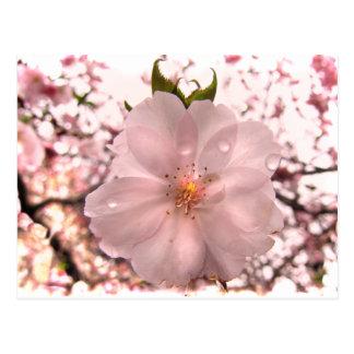 Cartão Postal Flor de cerejeira