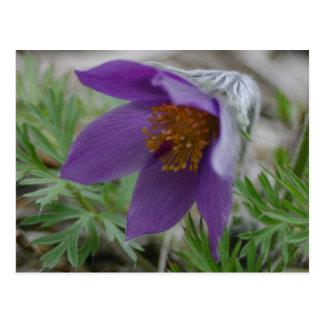 Cartão Postal Flor de estado norte-sul de Pasque Dakota da