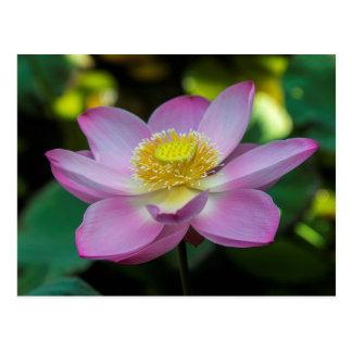 Cartão Postal Flor de lótus de florescência, Indonésia