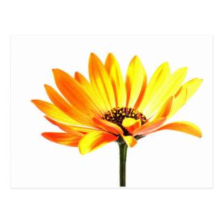 Cartão Postal Flor de Margurit do espanhol