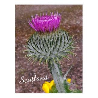 Cartão Postal Flor de Scotland, o cardo