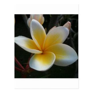 Cartão Postal flor de Tailândia