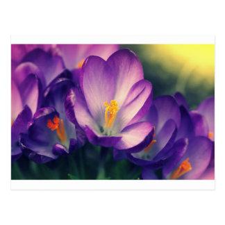 Cartão Postal Flor do açafrão. Fundo do primavera
