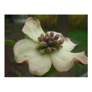 Cartão Postal Flor do Dogwood