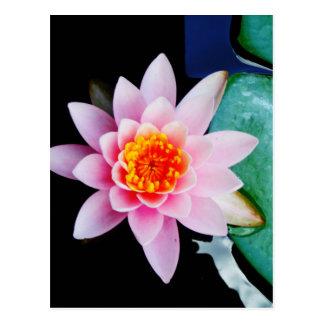 Cartão Postal Flor do lírio de água dos lótus do rosa quente &