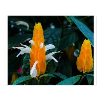 Cartão Postal Flor do pirulito