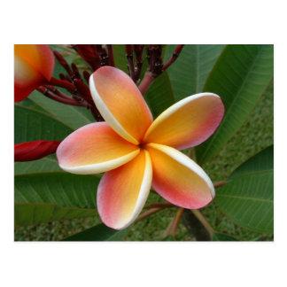 Cartão Postal Flor do Plumeria - Oahu, Havaí