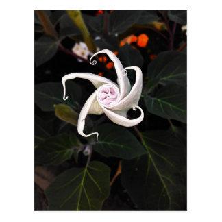 Cartão Postal Flor em botão do estramónio