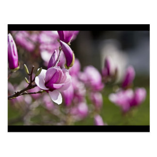 Cartão Postal Flor roxa da árvore de Princeton
