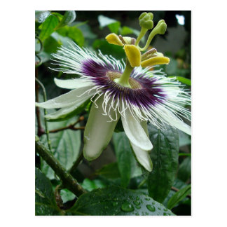 Cartão Postal Flor tropical exótica da fruta de paixão