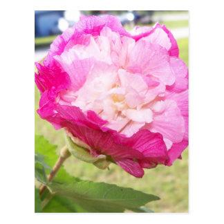 Cartão Postal flor variável do rosa e a branca do hibiscus
