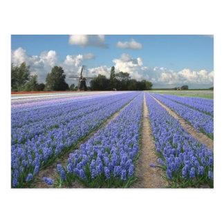 Cartão Postal Flores azuis do jacinto em um campo Holland