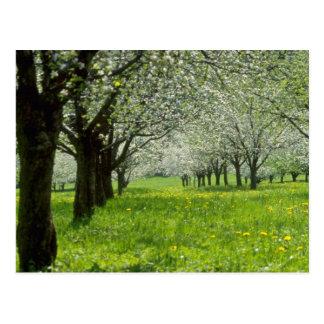 Cartão Postal flores brancas das árvores de Apple na primavera