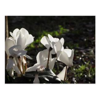 Cartão Postal Flores brancas do cyclamen de Backlits no fundo