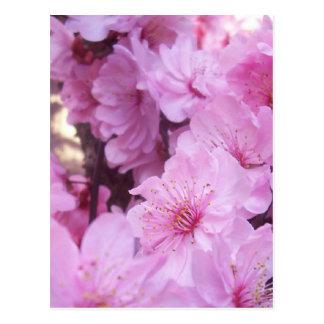 Cartão Postal Flores cor-de-rosa do pêssego