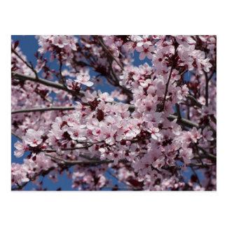 Cartão Postal Flores da ameixa