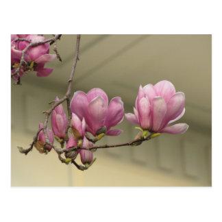 Cartão Postal Flores da magnólia