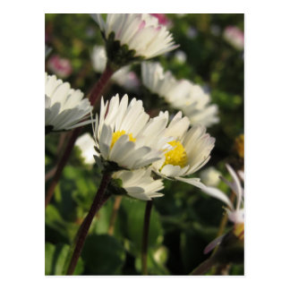 Cartão Postal Flores da margarida branca no fundo verde