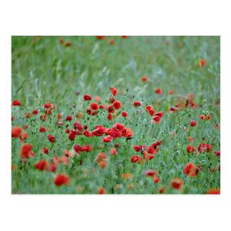 Cartão Postal Flores das papoilas de milho (Papaver Rhoeas)