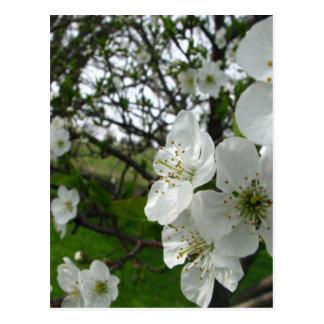 Cartão Postal Flores de Apple