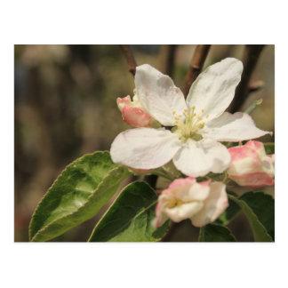 Cartão Postal Flores de Apple na luz do sol, fotografia da