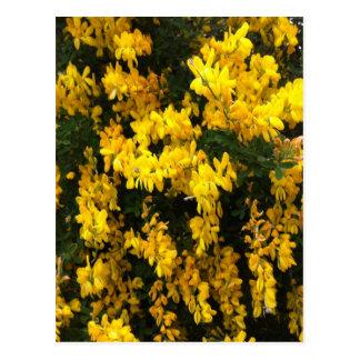 Cartão Postal Flores de Bell amarela -- Australiano nativo