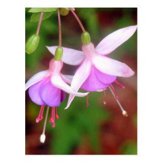 Cartão Postal Flores de Fuschia