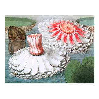 Cartão Postal Flores de Waterlilies do vintage em uma lagoa do